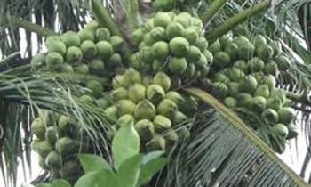 Coi chừng dừa rụng trúng đầu