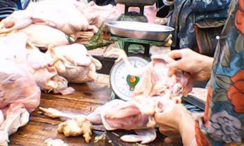 Trộn thuốc chữa hen vào thức ăn để gia cầm mau lớn