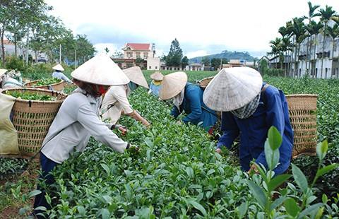 Đài Loan 'dội gáo nước lạnh', thị trường trà Việt lao đao