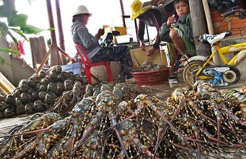 Thương lái Trung Quốc giở trò 'ma' với tôm hùm