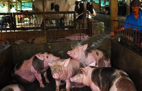 Sử dụng chất cấm trong chăn nuôi có thể bị phạt 100 triệu đồng