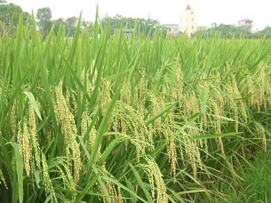 Đề xuất giảm hơn 52.000 ha lúa trong năm năm tới