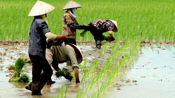 Quốc hội tán thành giảm đất trồng lúa gần 93.000 ha