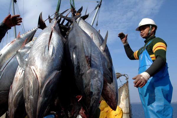 Trung Quốc tiêu thụ mạnh cá ngừ Việt Nam