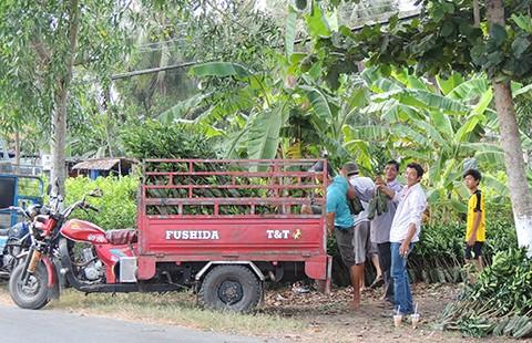 Nhiều giống cây ăn trái miền Tây 'sốt'