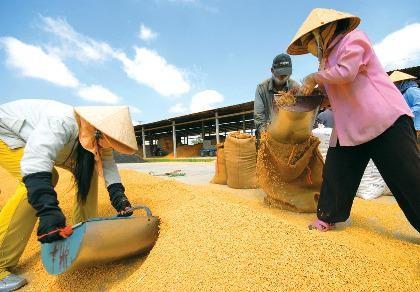 Giá gạo Việt giảm vì Thái Lan xả kho?