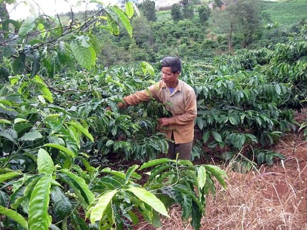 Trên 7.500 ha cà phê, tiêu… Tây Nguyên mất trắng