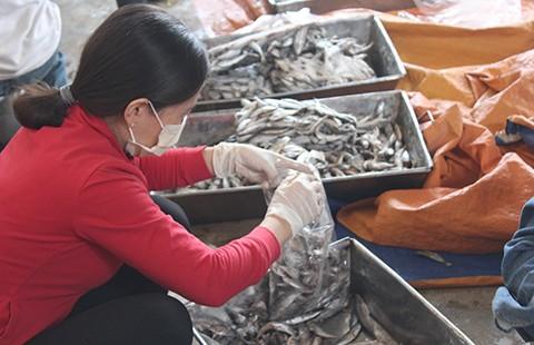 'Cá nục chứa phenol ở Quảng Trị vẫn ăn được'