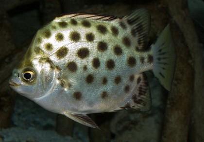 TP.HCM nhân giống thành công cá quý hiếm