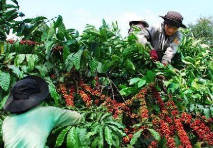 Giá cà phê lên 'đỉnh' cao nhất từ đầu năm