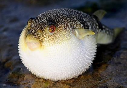 Liên tục ngộ độc do ăn cá nóc