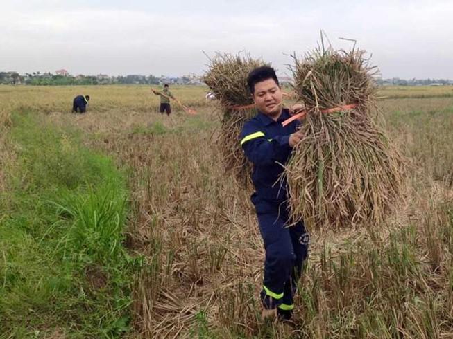 Gặt hết lúa trữ trong nhà tránh bão