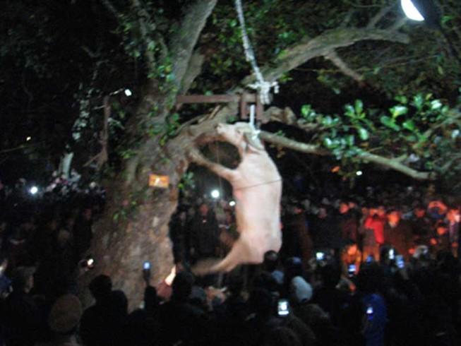 Sẽ chấm dứt việc treo trâu đến chết trong lễ hội