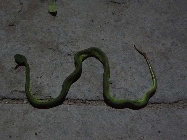 Thực hư tin đồn có người thả rắn lục đuôi đỏ ở TP.HCM