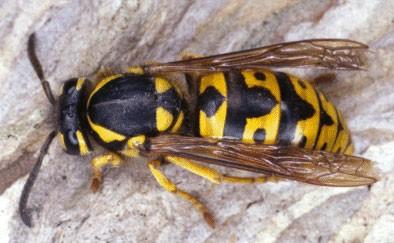 Cứu sống một trẻ bị ong vò vẽ đốt hơn 150 mũi