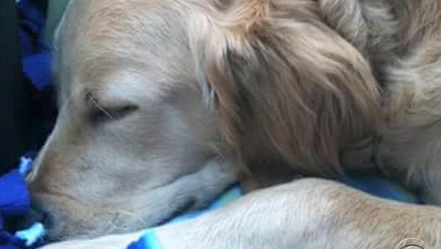 Chất tạo ngọt xylitol có thể giết chết chó nhà