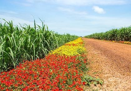 Chùm ảnh: Tuyệt đẹp ruộng mía bờ hoa nơi biên giới