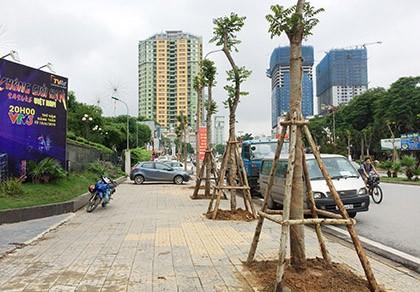 Hà Nội khẳng định cây phượng phù hợp trồng tại dải phân cách