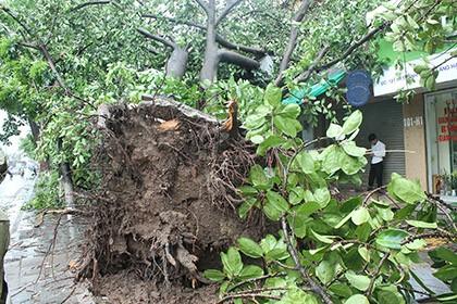 Hà Nội: Gần 3.000 cây xanh gãy đổ là do bão quá lớn