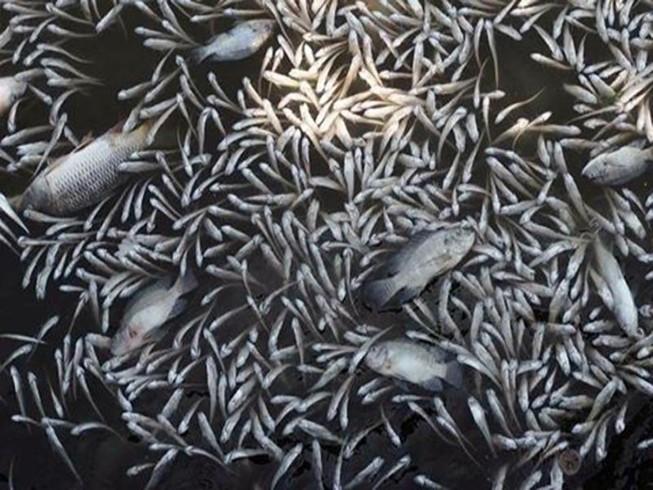 Hà Nội: Cá chết trắng xóa Hồ Tây, vì sao?