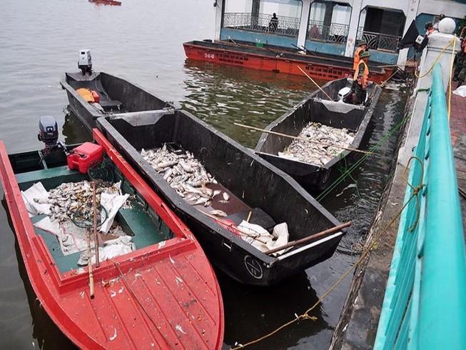 Cá Hồ Tây chết trắng do nước ô nhiễm và thiếu ôxy