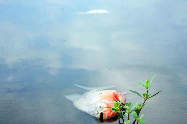 Cá chết ở hồ Linh Đàm không nhiều như báo chí đưa tin