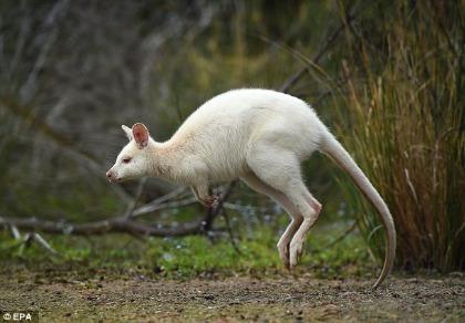 Chiêm ngưỡng chuột túi bạch tạng đẹp như trong cổ tích