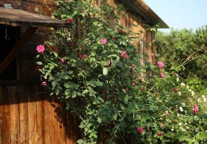 Ngắm khu vườn đẹp như mơ với hơn 100 loài hoa hồng