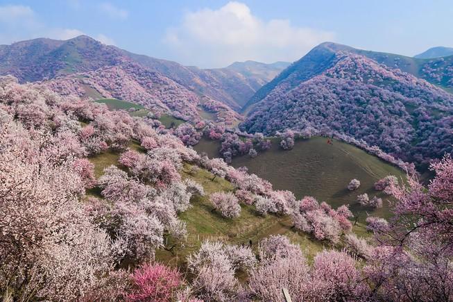 Sững sờ ngắm thung lũng hoa mơ đẹp như tiên cảnh