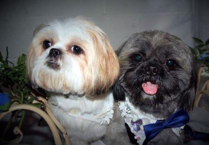 Chi 2.000 bảng Anh để làm đám cưới cho cún cưng