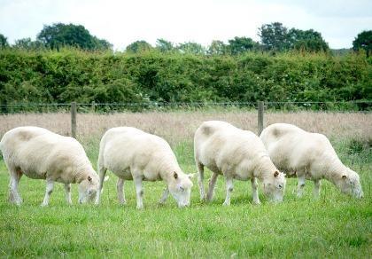 Số phận anh em của cừu Dolly giờ ra sao?