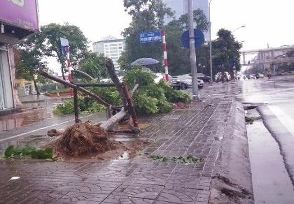 Cây mới trồng trên đường Nguyễn Chí Thanh đua nhau bật gốc sau bão
