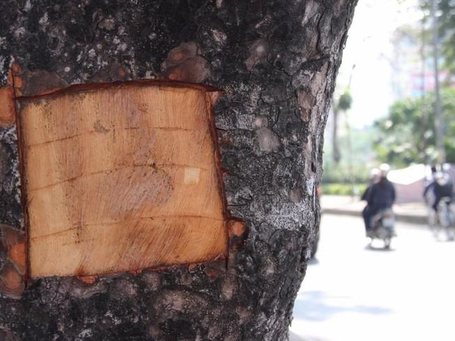 Hàng loạt cây xà cừ bị lột vỏ để… chữa bệnh ngứa?