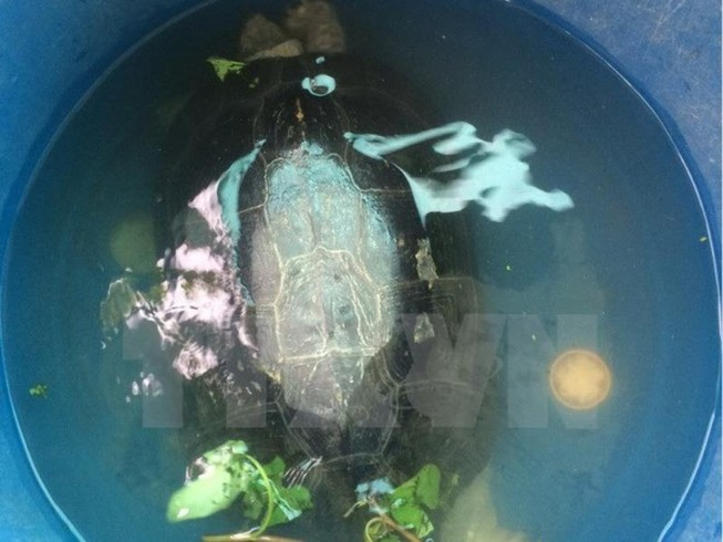 Bắt được 'cụ rùa' hơn 50 tuổi trong ao ở Bạc Liêu