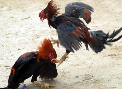 Mật phục bao vây bắt điểm đá gà trong khu dân cư