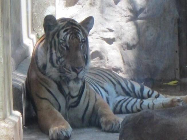 Hổ vồ chết nhân viên chăm sóc ở Bình Dương