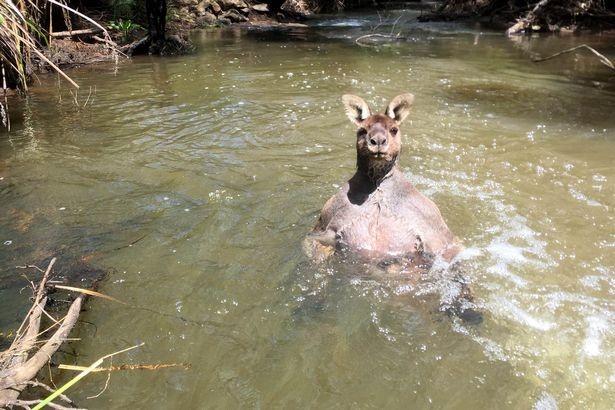 Kangaroo vạm vỡ đến lực sĩ cũng 'chào thua' - ảnh 1