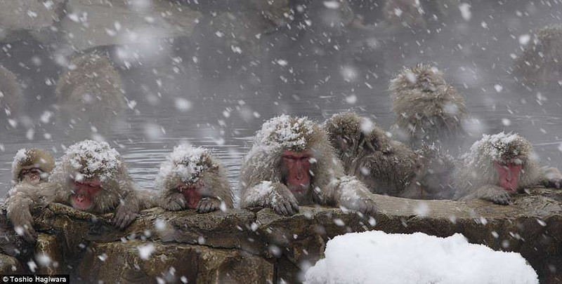 Điều chưa biết về khỉ Nhật Bản thích tắm suối nước nóng - ảnh 2