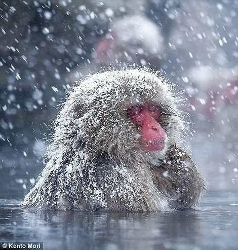 Điều chưa biết về khỉ Nhật Bản thích tắm suối nước nóng - ảnh 3