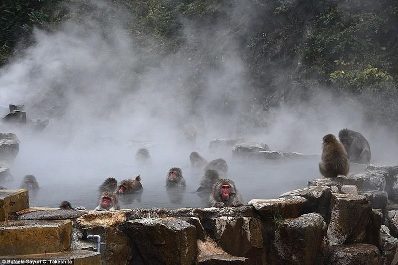 Điều chưa biết về khỉ Nhật Bản thích tắm suối nước nóng - ảnh 4