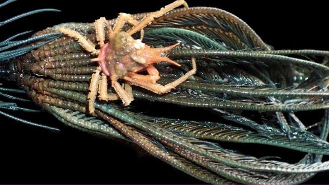 Phát hiện nhiều sinh vật biển kỳ dị ở vùng biển sâu Indonesia - ảnh 3