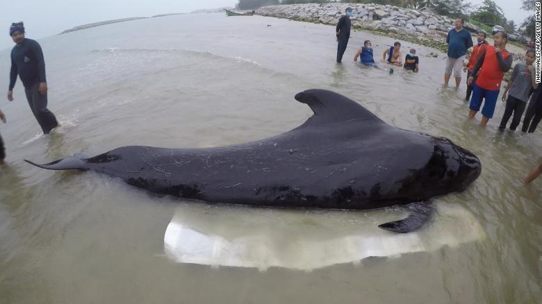 Cá voi chết ở bờ biển Thái Lan vì nuốt hơn 80 chiếc túi nylon - ảnh 1