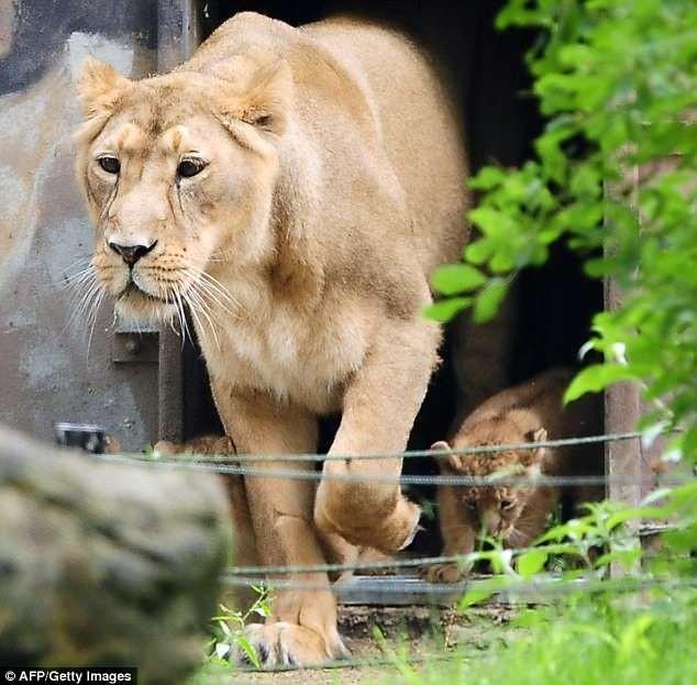 Sư tử sổng chuồng, khách tham quan tán loạn tìm nơi trốn - ảnh 2