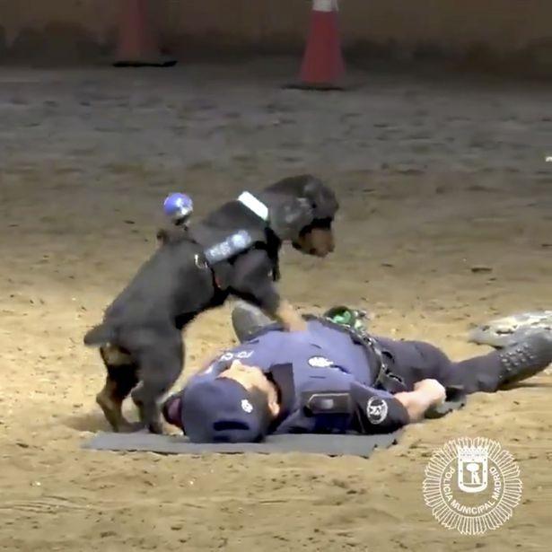 Thích thú xem chó nghiệp vụ hô hấp nhân tạo cứu người - ảnh 1