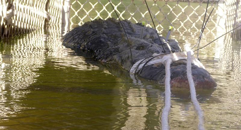 Bắt được 'quái sấu' khổng lồ sau 8 năm tìm kiếm - ảnh 1