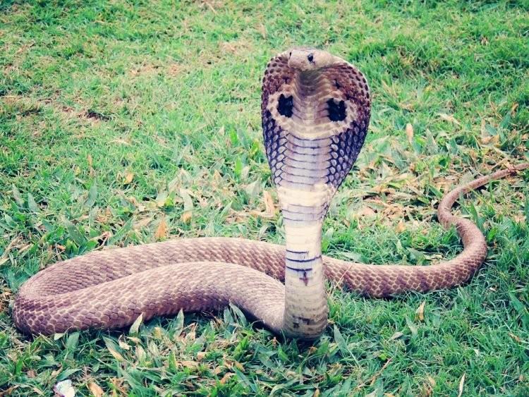 Cho rắn hổ mang cắn để giảm cảm giác nghiện thuốc phiện - ảnh 1