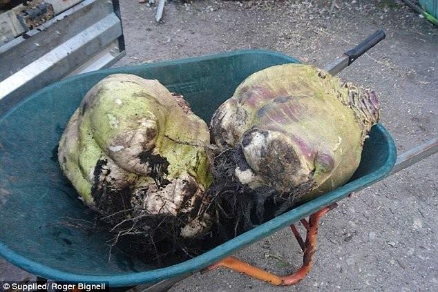 Hoảng hồn với củ cải lớn nhất thế giới - ảnh 2