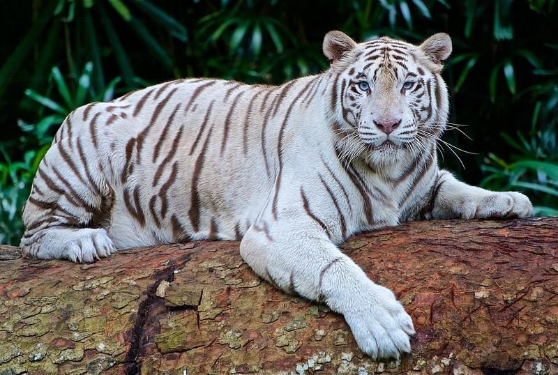 Hổ trắng vồ chết nhân viên vườn thú Nhật - ảnh 1