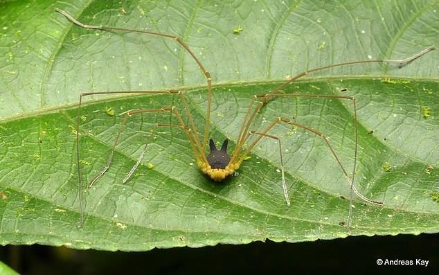 Phát hiện loài nhện đầu chó kỳ dị - ảnh 2