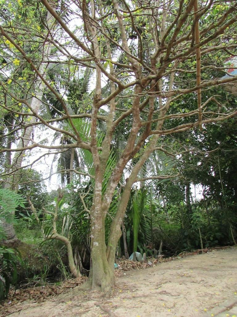 Ngắm cây mai khủng cao 4m, tán rộng 5m - ảnh 2